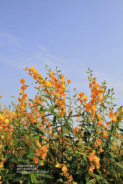 雲林彰化休耕期:金黃花海《太陽麻、油麻菜花》陸續盛開~ @麻吉小兔吃貨旅行團