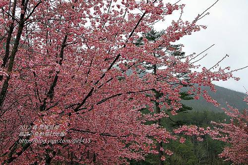 2012。春【武陵農場】雨中賞櫻 @麻吉小兔吃貨旅行團