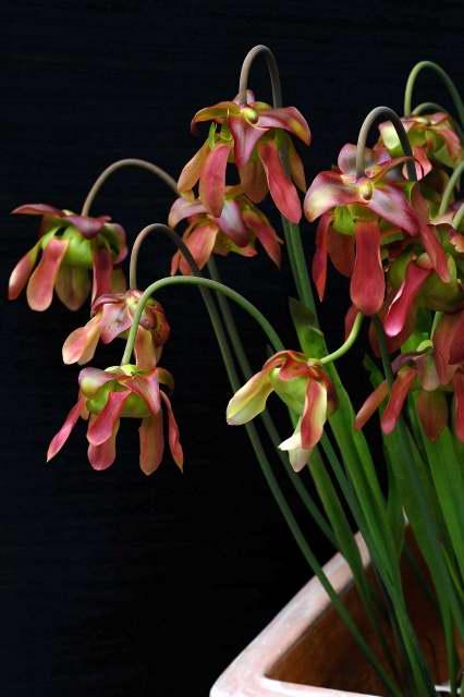 sarracenia-flowers kumpulan17