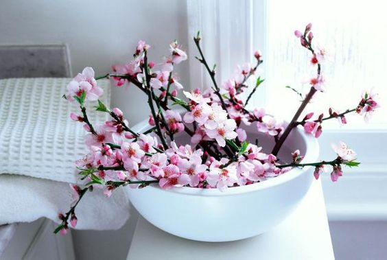 forced peach blossom in white  bowl, pale interior shot