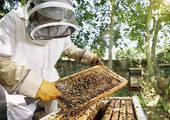 abeille du pilat