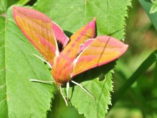 L'épilobe à feuilles étroites 7