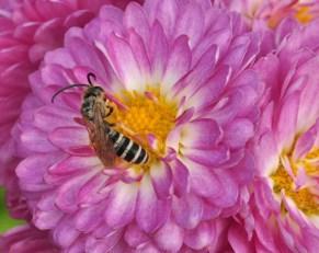 abeille solitaire du genre Halictus