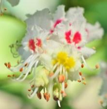 plante_mellifere_le_marronnier_blanc_jacques_piquée_coopapiloire (4)