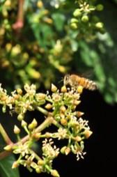plante_mellifere_parthénocisse_a_5_folioles_jacques_piquee_coopapiloire (2)
