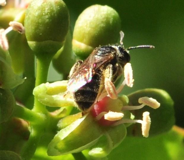 plante_mellifere_parthénocisse_a_5_folioles_jacques_piquee_coopapiloire (5)