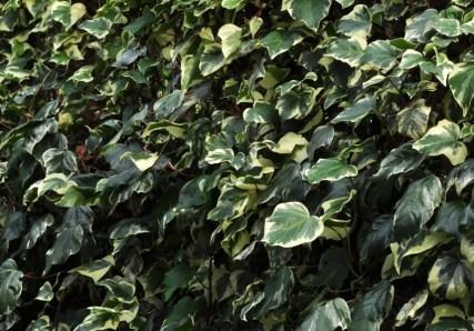 plante_mellifere_lierre_des_Canaries_jacques_piquee_coopapiloire (4)