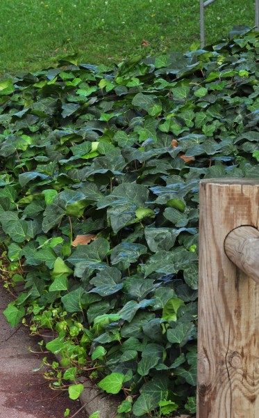 plante_mellifere_lierre_des_Canaries_jacques_piquee_coopapiloire (6)