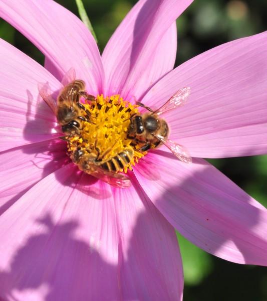 Liste des plantes attractives pour les abeilles • SOCIÉTÉ COOPÉRATIVE AGRICOLE