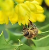 plante_mellifere_mahonia_hybride_jacques_piquee_coopapiloire (7)