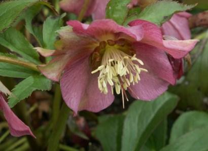 plante_mellifere_hellébore_oriental_jacques_piquee_coopapiloire (3)