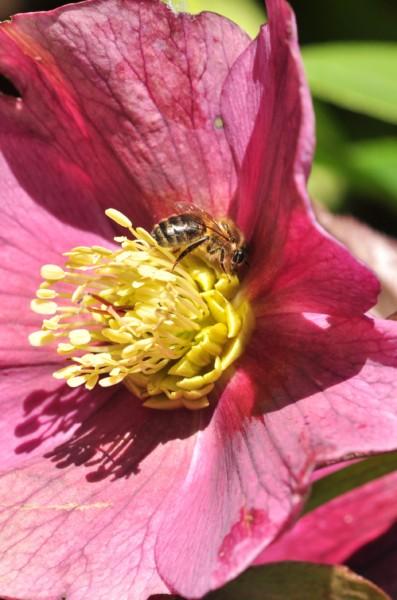plante_mellifere_hellébore_oriental_jacques_piquee_coopapiloire (5)