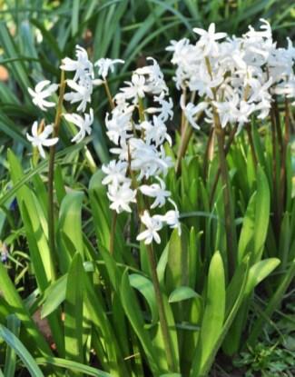 plante_mellifere_jacinthe_dOrient_page_jacques_piquee_coopapiloire (3)