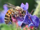 plante_mellifere_vipyrine_commune_jacques_piquee_coopapiloire (6)