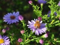 plante_mellifere_asters_dautomne_jacques_piquee_coopapiloire (10)
