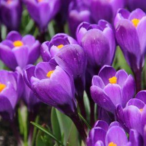 Ora tocca ai bulbi per la primavera