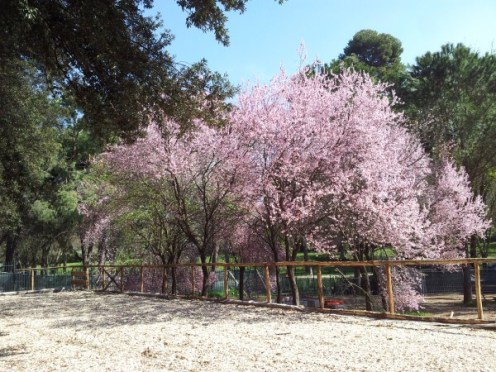 Mirabolano – Prunus cerasifera