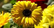 yellow-calendula-pot-marigold-dsc00224