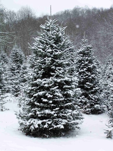 Tannenbaum snowy-Christmas-tree