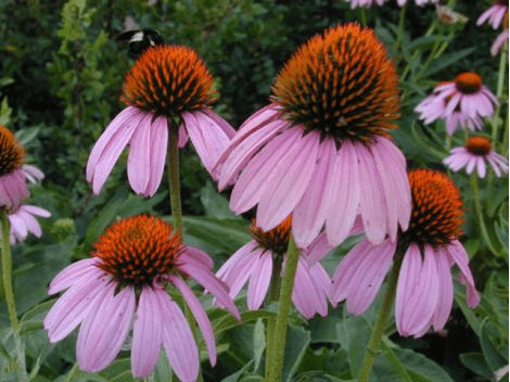 Native Plants vs Cultivars–does it matter?