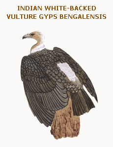 054 indian white-backed vulture gyps bengalensis