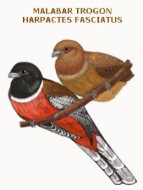 130 malabar trogon harpactes fasciatus