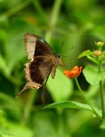 16---Malabar-Banded-Peacock-Butterfly