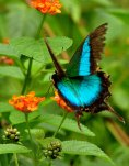 17---Malabar-Banded-Peacock-butterfly