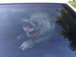 Cop Arrested Helping Murderer Escape, Pig Poops in Cruiser