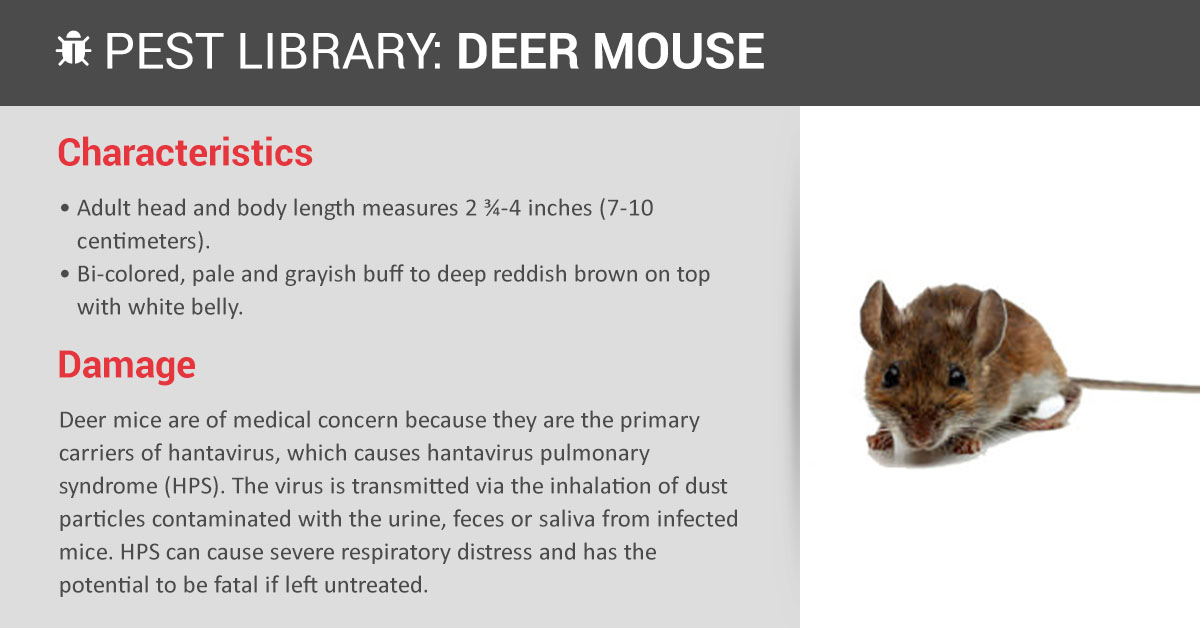 Deer Mouse Control & Identification | Copesan Pest Library