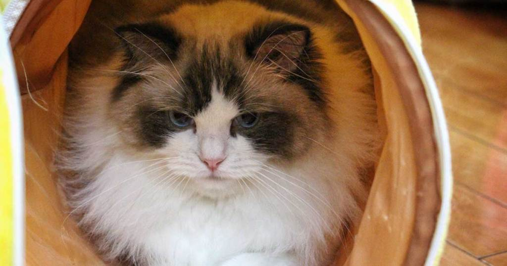 THEY'RE LAP CATS-7 Fun Facts About Ragdoll Cats