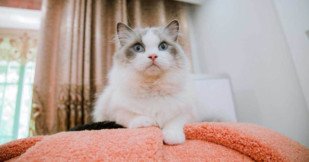 "RAGDOLLS ARE ""DOG-LIKE"" CATS-7 Fun Facts About Ragdoll Cats"