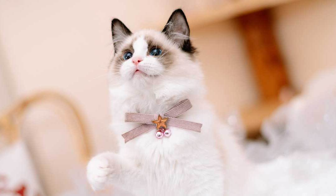Top 25 Awesome Ragdoll Cat Names Ideas