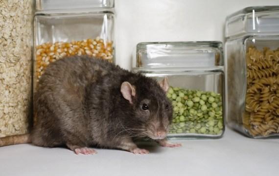 Entreprise de d sinfection rats souris cafards punaises en belgique - Entreprise desinfection punaises lit ...
