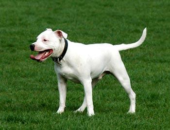 Free Staff Dog Photo