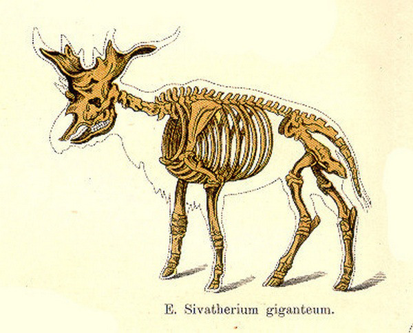 Sivatherium skeletal reconstruction. Note the browsing dentition.