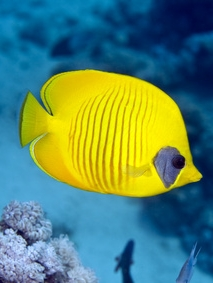 Picture taken from http://www.coral-reef-info.com/red-sea-coral-reefs.html