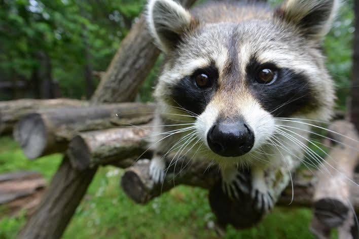 Asheville North Carolina Travel Guide - Nature Center Raccoon
