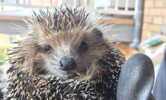 Riccio si intrufola in un giardino: recuperato dai Vigili del Fuoco, sorride al flash