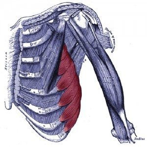 Location of the serratus anterior muscles in your ribcage