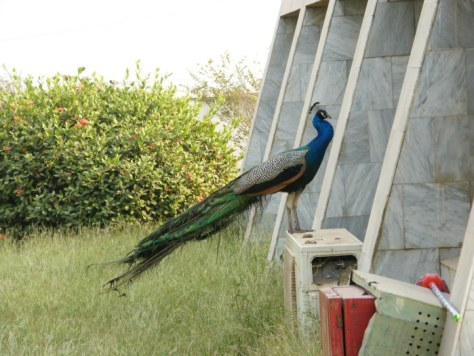 Un paon (French for peacock) in Kwame Nkrumah Mausoleum and Memorial Park