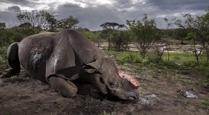 Wildlife photographer exposes illegal rhino horn trade