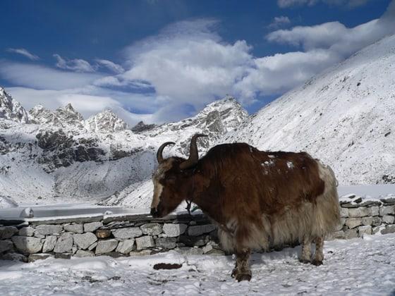 visit Mount Everest - Yak at third lake in Gokyo