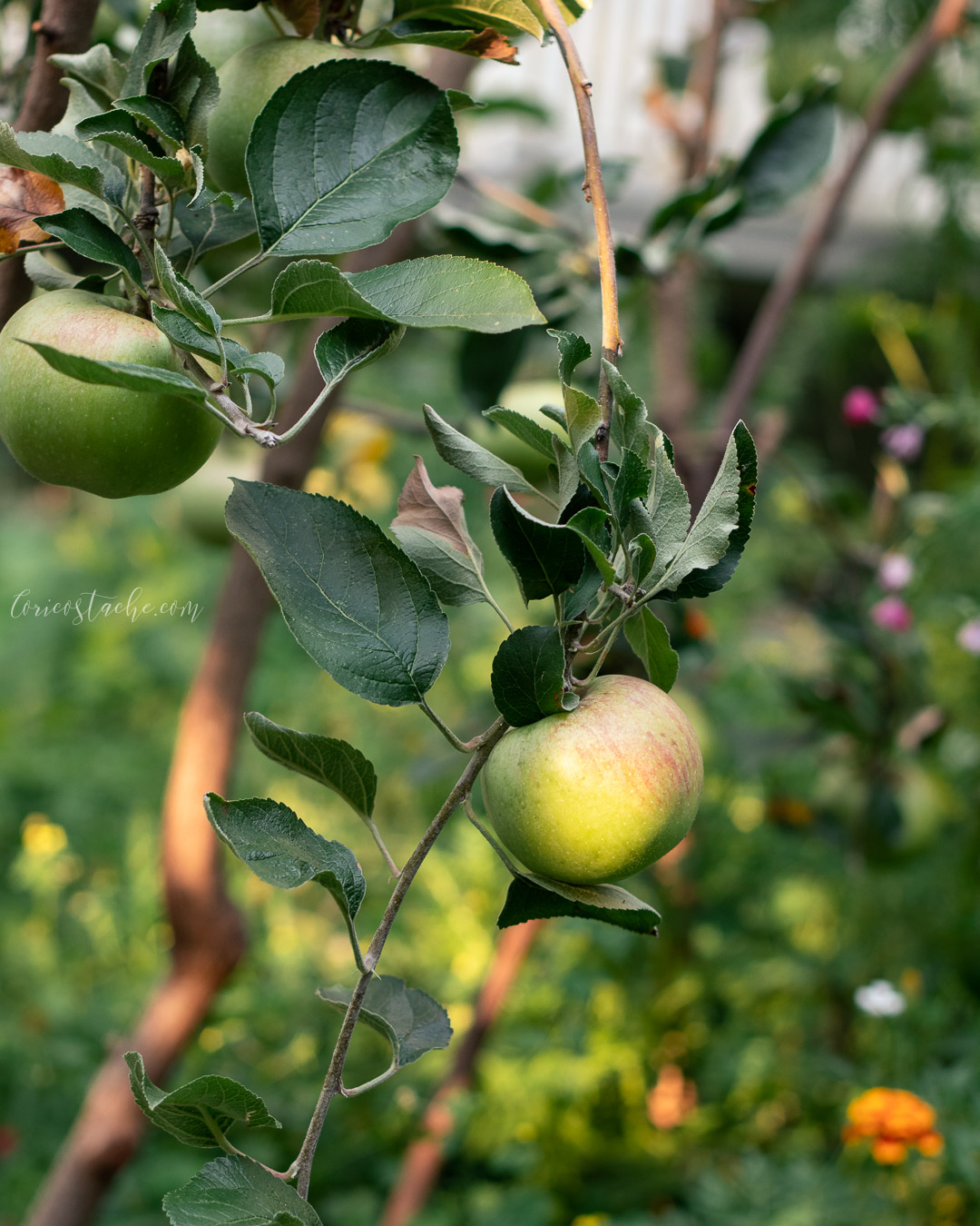 apples in the garden food photography