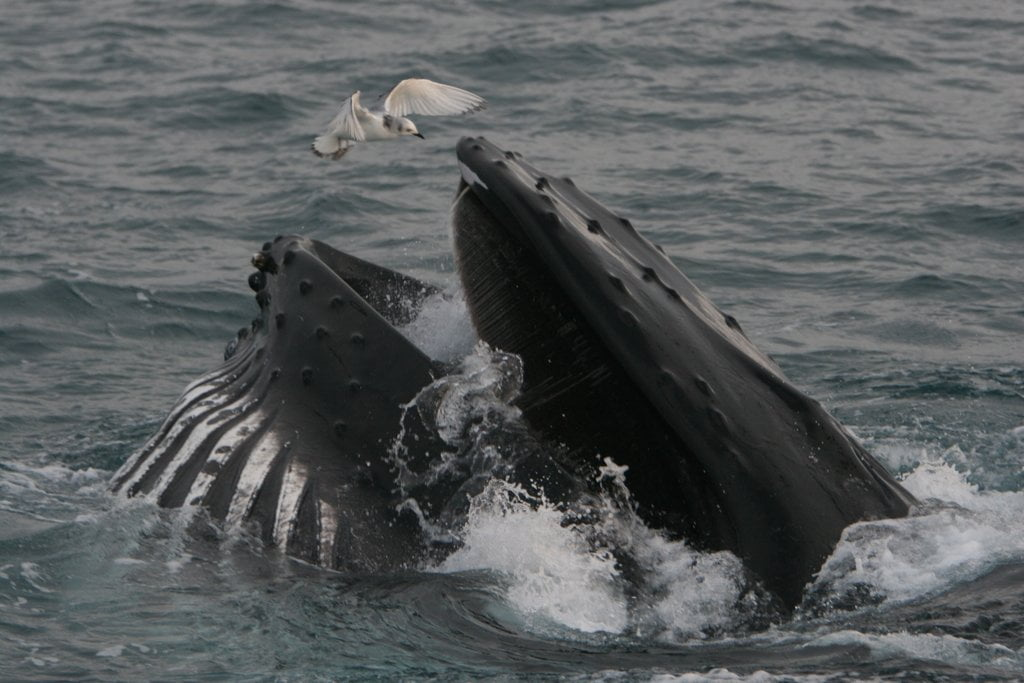 Humpback Whale Migration Qoute: Whale Watching In West Cork With Colin Barnes