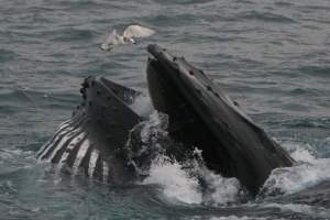 Whale Watching, West Cork, Humpback Whale