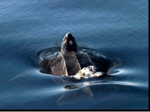 Leatherback turtle, West Cork 13-14 Jul 06 Ian Slevin
