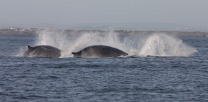 Fin whales on the move