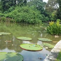 Waterlelies in de botanische tuin van Bogor.