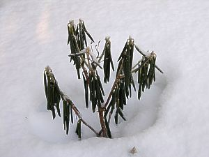 a very sad & cold rhody